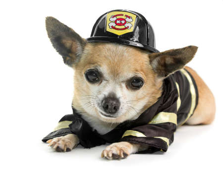 k 9: Cute Firefirghter Chihuahau on white background