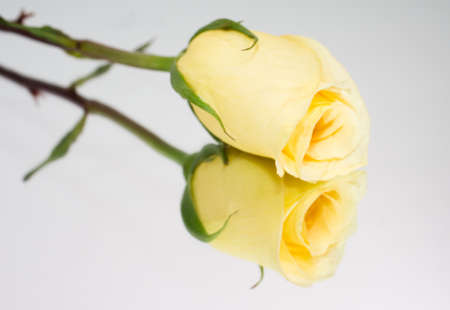 long stem roses: Boquet of yellow roses on white backgorund