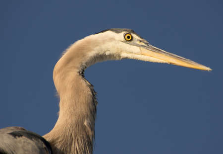 Close up view of great blue heron with deep blue sky in background photo