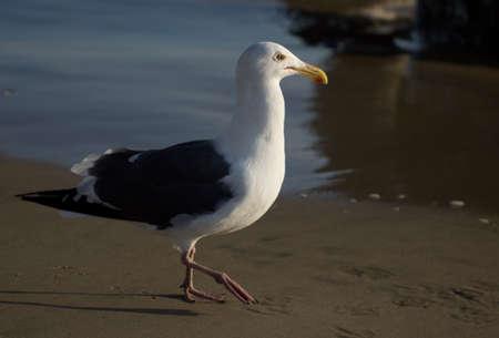 Profiel bekijken van zeemeeuw die op Huntington Beach. Californië