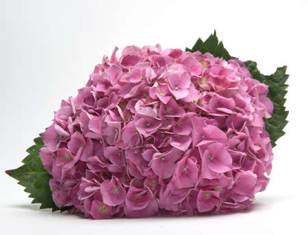 Pink fushia hydrangeas on white background Stock Photo