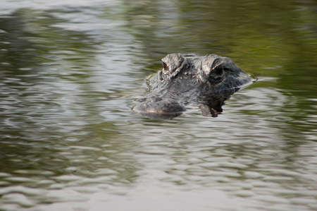American alligator in the Florida Everglads photo