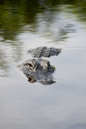 American alligator in the  Everglads photo