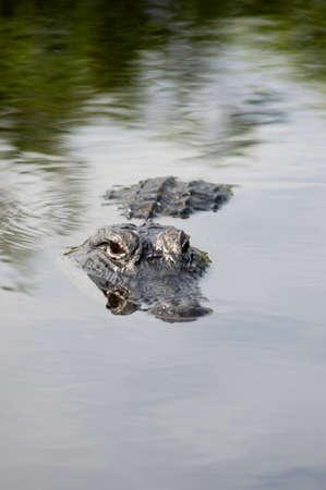 American alligator in the  Everglads photo