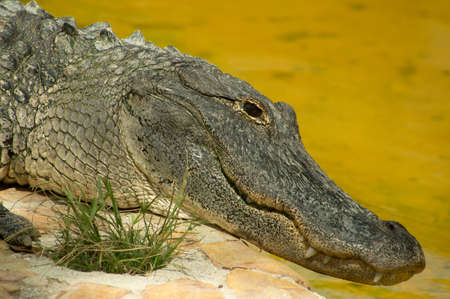 American alligator in the Florida Everglades photo
