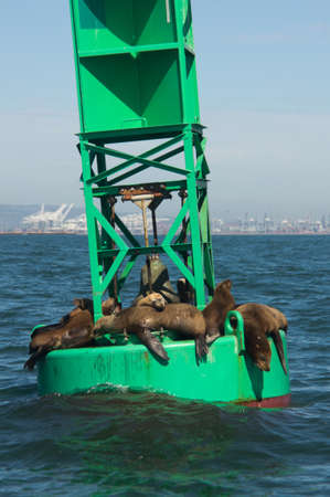 California Sea Lions on offshore navigational bouy