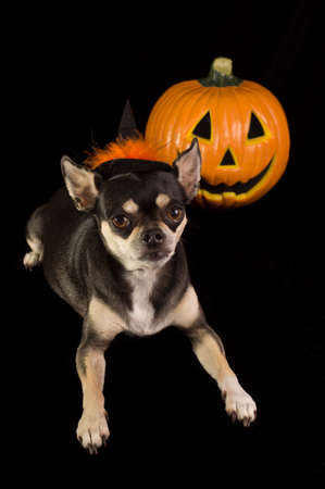Cute Chihuahua dressed as witch for halloween  With pumpkin and green faced witch in background Stock Photo - 14989261