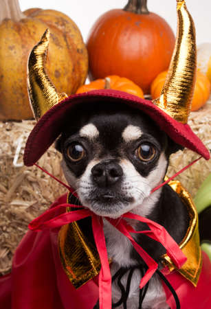 Cute chihuahua dressed in devil costume for halloween