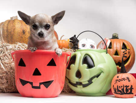 Cute photo of tina tan chihuahua inside a pumpkin candy bucket with Halloween candy and pumpkins