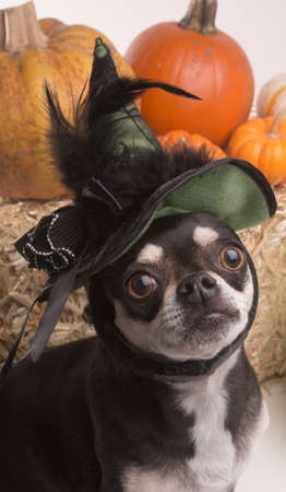 cinderella pumpkin: Cute chihuahua dressed in green witch hat for halloween. Surrounded by halloween pumpkins and candy.