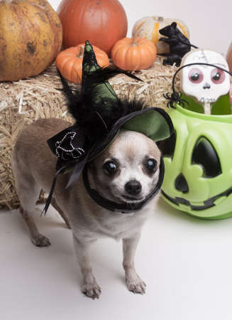 Cute chihuahua dressed in green witch hat for halloween. Surrounded by halloween pumpkins and candy.