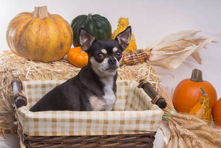 cinderella pumpkin: Cute tan and brown chihuahua inside harvest basket with pumpkins, Indian Corn, wheat stalks, and hay stack. On white background Stock Photo
