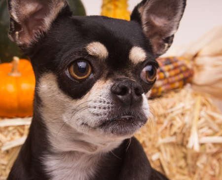 cinderella pumpkin: Cute chihuahua close up view with pumpkins, Indian Corn, and hay stack in background