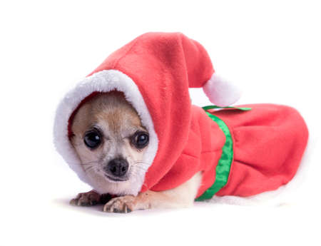 santa s helper: Cute chihuahua dressed as Christmas elf with hat and bows  Isolated on white background Stock Photo