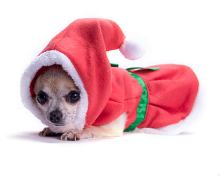 santa s helper: Cute chihuahua dressed as Santa Claus for Christmas  Isolated on white background with light shadow