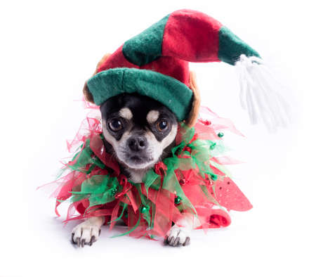 christmas costume: Cute chihuahua dressed as Christmas elf with hat and bows  Isolated on white background Stock Photo