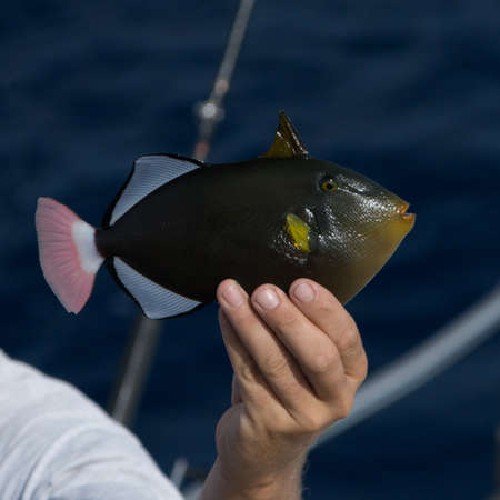 triggerfish: Profile view of person holding a triggerfish