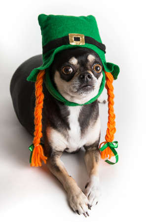 Cute Chihuahua dog dressed as leprechaun with green hat and orange braids. Isolated on white background with light shadow. photo
