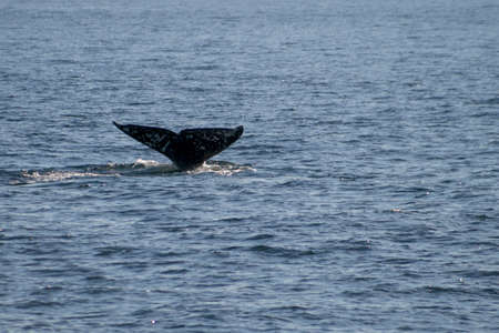 flukes: Gray whale migrating south off the coast of Oxnard, California