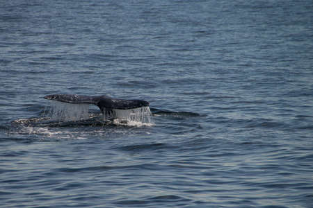 Gray whale migrating south off the coast of Oxnard, California