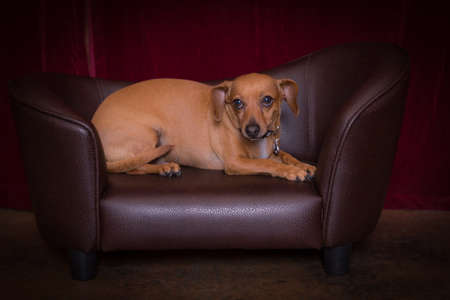 deserved: Cute chiweenie dog enjoying a well deserved rest on couch Stock Photo