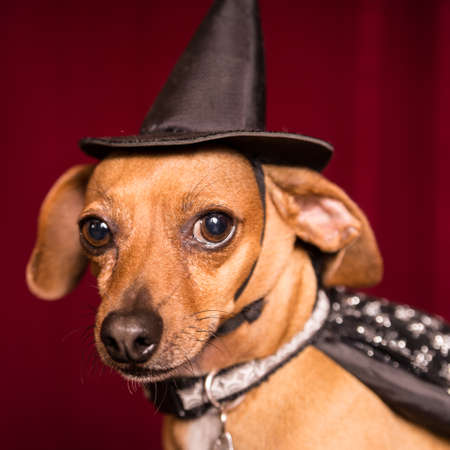 Cute Chiweenie dog dressed as witch with hat and cape for Halloween Stock Photo