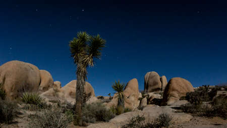 Joshua Trees lit by moonlight  under the Mlky Way at Joshua Tree National Park photo
