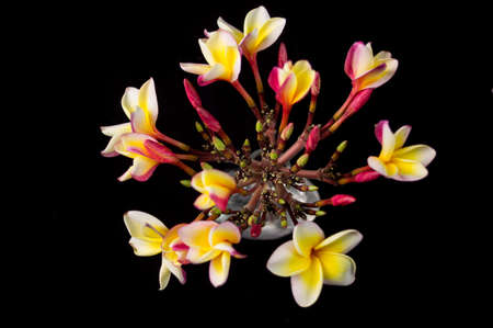Blooming tropical plumerias isolated on black background