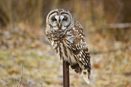 Barred Owl sitting on post with a wooded background