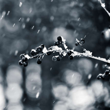 Snow falling on a branch with berries in monochrome