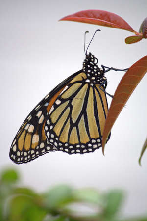 Monarch Butterfly perched on azalea leaves with neutral background Stok Fotoğraf