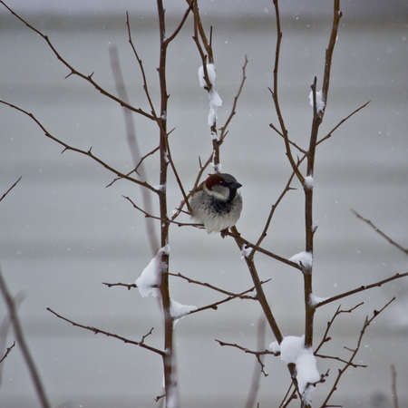 Sparrow perched on snow covered branches after late winter snow
