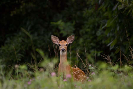 Fawn alert in a field of clolver