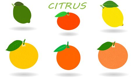 Citrus set isolated on white background. Fresh and juicy whole citruses with shadow. Illustration fruit with flat design.