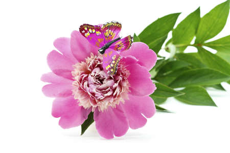 Beautiful Pink Peony Flower with butterfly isolated on white background photo