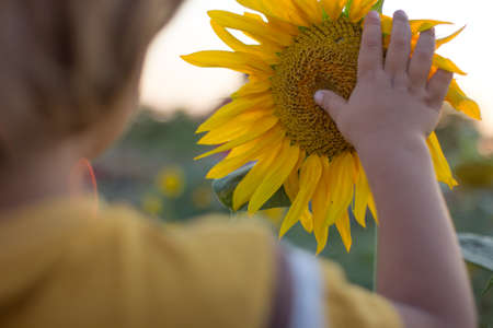 A child hand gentle touching the sunflower at the summer sunset.