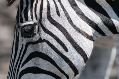 face close up: zebra face close up