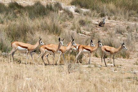 springbok: springbok group etosha namibia