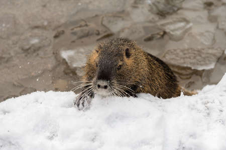 assimilate: nutria in wintry landscape  Stock Photo