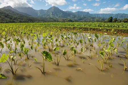 kauai: taro fields kauai hawaii