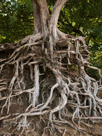 ironwood: roots of an ironwood tree kauai hawaii