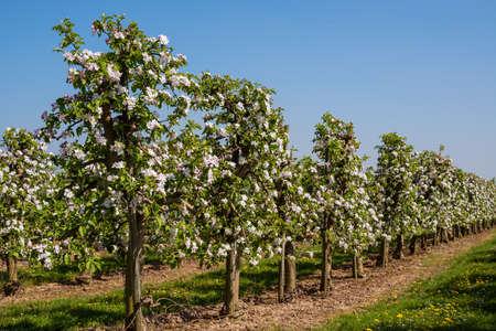 arbol de manzanas: flores de los manzanos en una plantación de manzanos