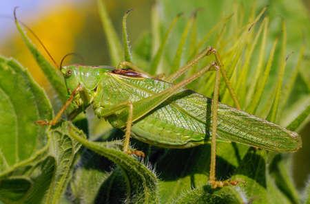 langosta: langosta verde en la hoja de girasol Foto de archivo