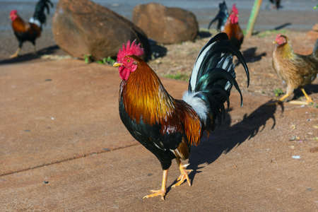 kauai: hawaiian rooster kauai hawaii Stock Photo