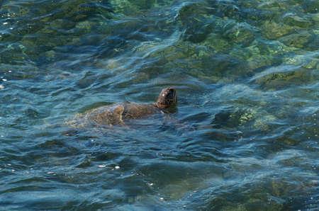 kauai: green sea turtle kauai hawaii Stock Photo