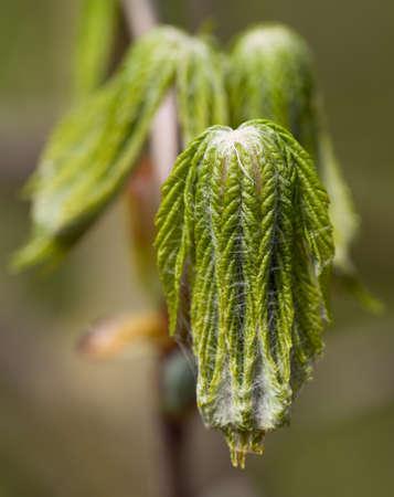 springbreak: young leafs of european chestnut