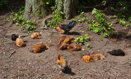 undisturbed: a comfortable living group of chicken in a forest on the azores
