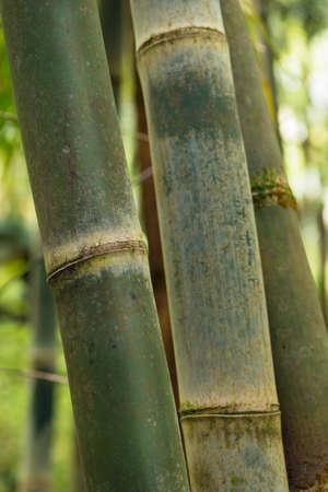 resistant: closeup of bamboo sao miguel azores