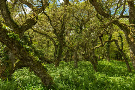 beech tree: beech tree forest sao miguel azores Stock Photo