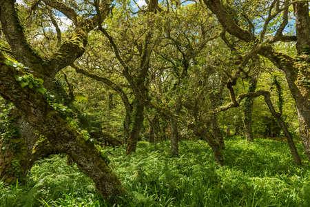 beech tree beech: beech tree forest sao miguel azores Stock Photo